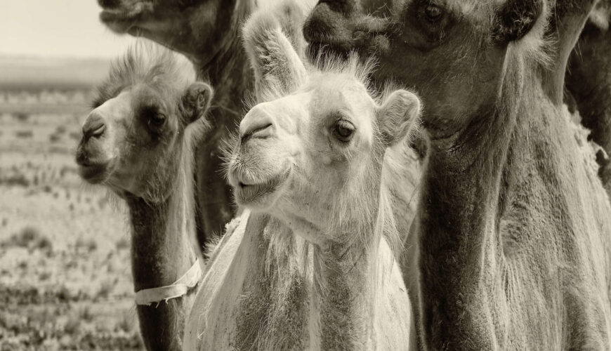 Camel Market - Egypt Vacation Tours (2)